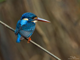 A reunion with the Indigo-banded Kingfisher