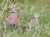 Red Turtle-Dove   Scientific name - Streptopelia tranquebarica humilis   Habitat - Open country or lawns.   [40D + 500 f4 L IS + Canon 1.4x TC, bean bag]