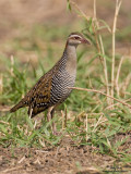 Buff-banded Rail   Scientific name - Gallirallus philippensis   Habitat - Marshes, ricefields and open grasslands.  [40D + 500 f4 IS + Canon 1.4x TC, bean bag]