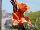 Potrero Hill iris