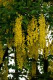 Flowering Tree in Sitka
