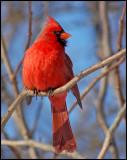 Northern-Cardinal 37 m