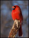 Northern-Cardinal  39 m