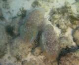 Pharaoh cuttlefish, Ras Al Hamra
