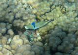 Damaniyat Picasso triggerfish (Rhinecanthus assasi)