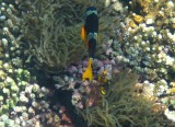 Damaniyat Clark's anemonefish (Amphiprion clarkii)