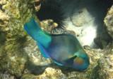 Damaniyat parrotfish
