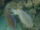 Marjan pharaoh cuttlefish (Sepia pharaonis)