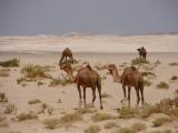 Empty Quarter camels