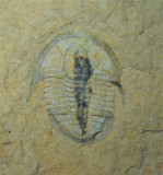Cedaria minor with preserved gut, 12 mm, Weeks Formation, M-U Cambrian, Utah, USA.