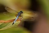Garden Dragonflies