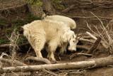 Mountain Goats, Bighorn Sheep and Elk