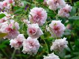 Bloomfields Abundance