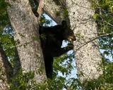 Bear Up a Cherry Tree II