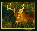 Eight Pointer in Late Afternoon