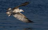 Caspian Gull - Larus cachinnans
