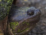 snapping_turtles