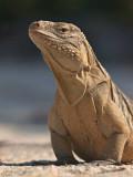 Female Rock Iguana