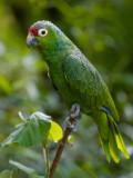 Mealy Parrot (Amazonia farinosa chapmani) 3