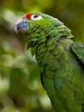 Mealy Parrot (Amazonia farinosa chapmani) 2