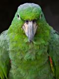 Mealy Parrot (Amazonia farinosa chapmani) 1