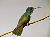 Amazalia Hummingbird 2