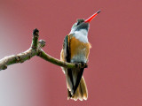Amazalia Hummingbird 3