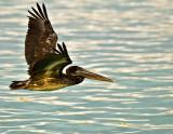 Brown Pelican (Pelecanus occidentalis) 2
