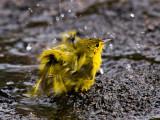 Female American Yellow Warbler (Dendroica petechia)  1
