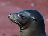 Female Galápagos Sea Lion (Zalophus californianus) 1