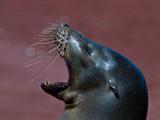 Female Galápagos Sea Lion (Zalophus californianus) 2