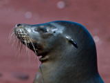 Female Galápagos Sea Lion (Zalophus californianus) 7