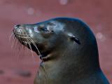 Female Galápagos Sea Lion (Zalophus californianus) 8