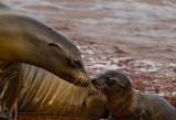 Female Galápagos Sea Lion and Pup (Zalophus californianus)