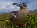 Red Footed Booby (Sula sula)