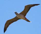 Red Footed Booby (Sula sula) 3
