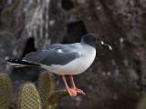 Swallow-tailed Gull (Creagrus furcatus) 1