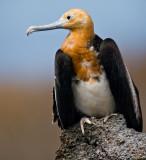 Juvenile Great Frigatebird (Fregata minor) 2