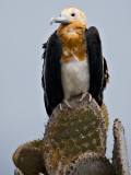 Juvenile Great Frigatebird (Fregata minor) 3