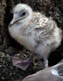 Swallow-tailed Gull Chick (Creagrus furcatus)