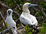 Red Footed Booby and Chic (Sula sula)
