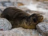 Galápagos Sea Lion Pup (Zalophus californianus) 1