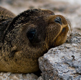 Galápagos Sea Lion Pup (Zalophus californianus) 2