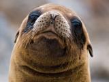 Galápagos Sea Lion Pup (Zalophus californianus) 3