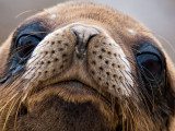 Galápagos Sea Lion Pup (Zalophus californianus) 4