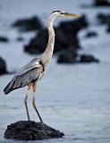 Great Blue Heron (Ardea herodias cognata) 1