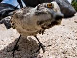 Hood Mockingbird (Nesomimus macdonaldi) 1