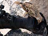 Hood Mockingbird (Nesomimus macdonaldi) 3