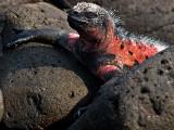 Male Marine Iguana (Amblyrhynchus cristatus venustissimus) 1