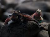 Marine Iguanas (Amblyrhynchus cristatus venustissimus) 3